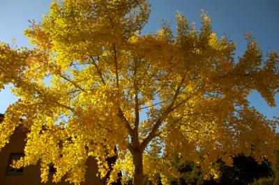 golden leaves on tree